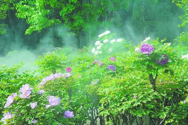人间四月天 牡丹花盛开香邀游客来